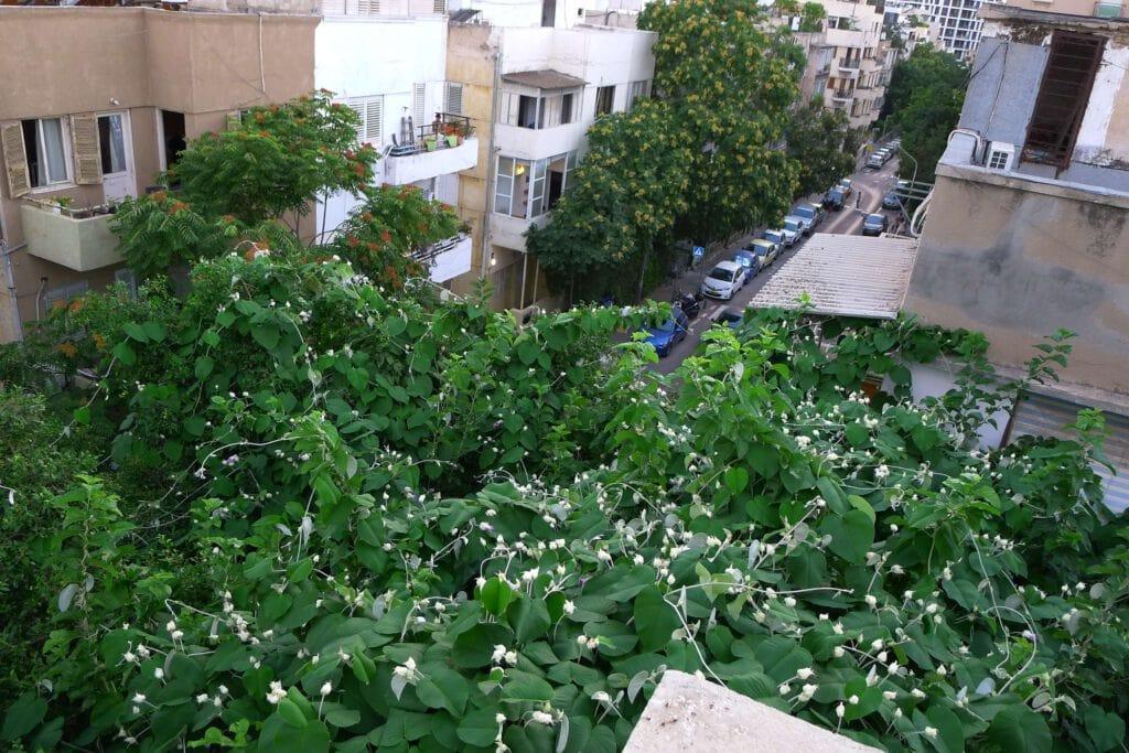 צמח מטפס שמוסיף לבניין יופי, צל ואוויר נקי